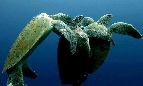 Con rùa đực đến sau liên tục cắn vào phần thịt mềm trên cơ thể tình địch để giành quyền giao phối với rùa cái. Ảnh: Mirror.