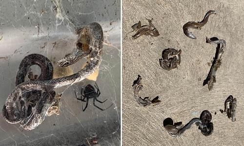Xác thằn lằn bị nhện lưng đỏ giết trong nhà dân Australia. Ảnh: Facebook.