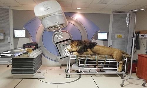 Sư tử đực 16 tuổi được xạ trị để chữa ung thư da