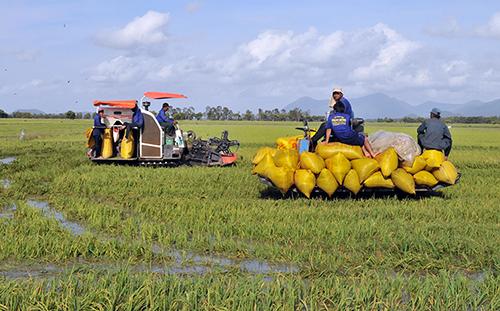 Nông dân vùng biên giới An Giang thu hoạch lúa. Ảnh: Cửu Long