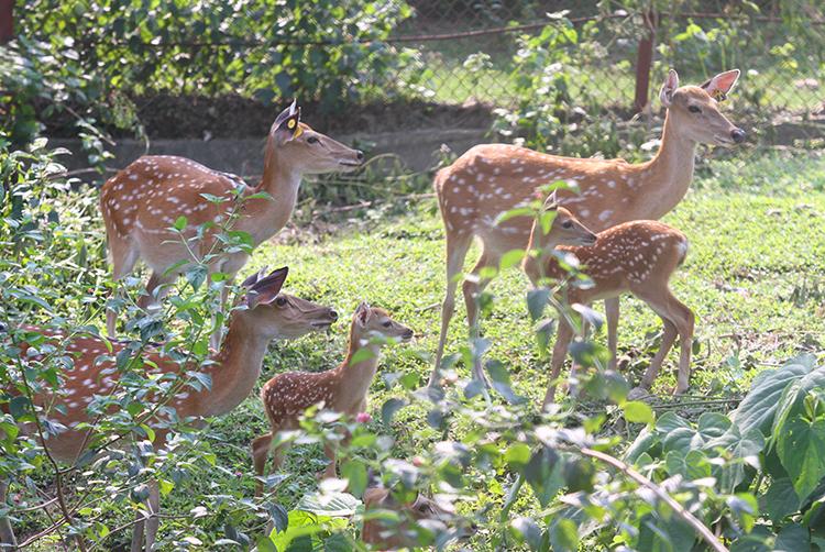 Tổng đàn hươu của huyện Hương Sơn đạt khoảng 36.000 con. Ảnh: Đức Hùng