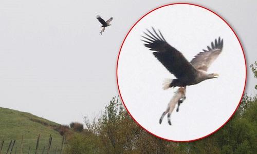 Đại bàng biển có thể đã tấn công con cừu ở một trang trại gần đó. Ảnh: Sky News.