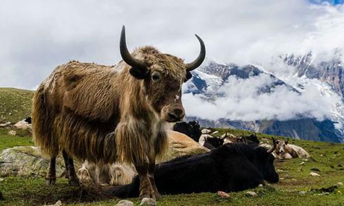 Tuyết rơi dày khiên bò Tây Tạng chết vì thiếu thức ăn. Ảnh: BBC.