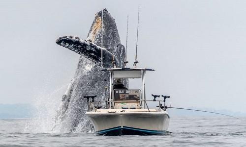 Cá voi lưng gù suýt rơi trúng thuyền ngư dân ở California