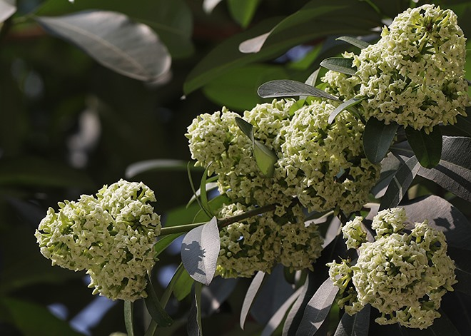 Vì sao năm nay hoa sữa Hà Nội nở trái mùa, còn hoa phượng thì nở sớm ?