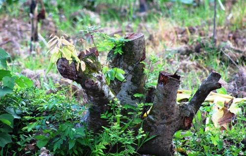 Những gốc vải thiều hơn chục năm tuổi được chủ vườn tại xã Bát Trang (An Lão) chặt hạ không thương tiếc. Ảnh: Giang Chinh
