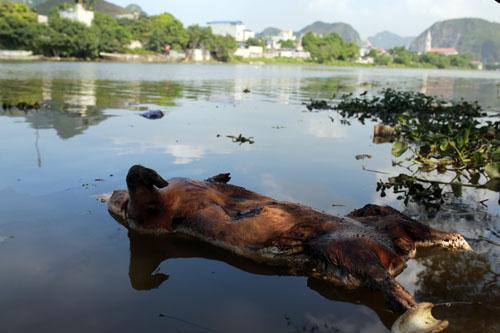 Nhiều xác lợn chết trôi trên sông ở Hà Nội - ảnh 2