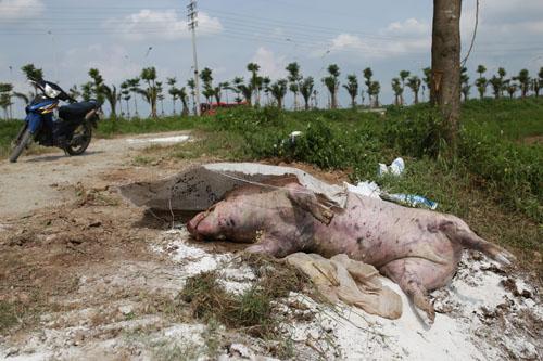 Nhiều xác lợn chết trôi trên sông ở Hà Nội - ảnh 3