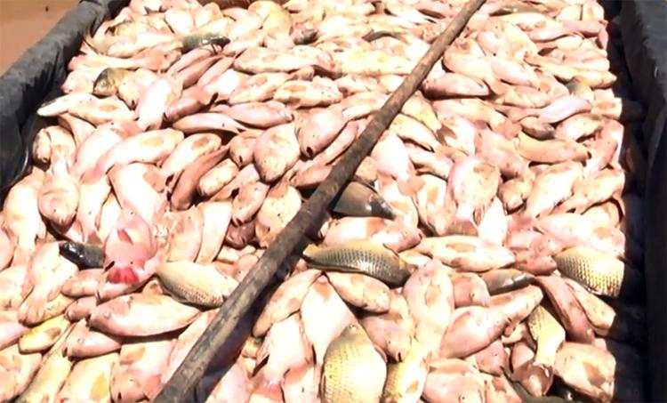 Người dân vớt cá bán với giá 20.000 đồng mỗi kg. Ảnh: Thái Hà.