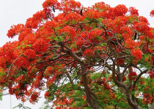 Tháng 5, hoa phượng nở đỏ rực ở TP Hải Phòng. Ảnh: Giang Chinh.