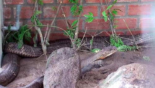 Tỉnh An Giang sẽ hai con rắn hổ mây về núi Cấm. Ảnh: An Phú