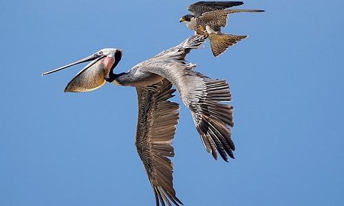 Con chim ưng không sợ hãi túm cánh kẻ thù to hơn nó nhiều lần. Ảnh: Alex Phan.