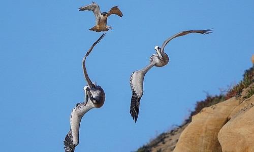 Chim ưng mẹ đuổi theo bầy bồ nông từ vách đá. Ảnh: Alex Phan.