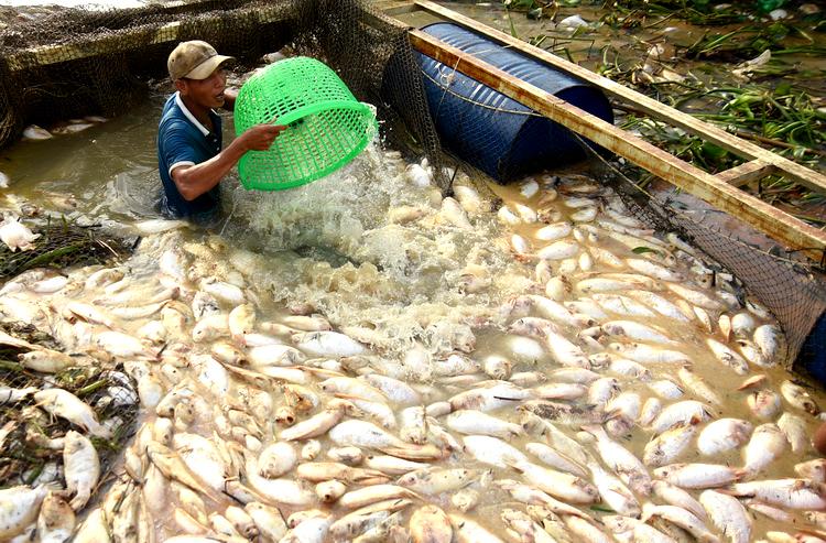 Người dân gom cá diêu hồng bán với giá 2.000 đồng/kg. Ảnh: Thái Hà.