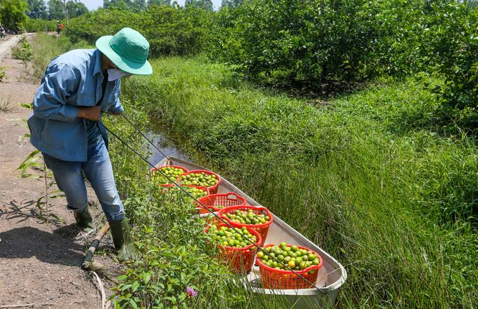 Trang trại chanh không hạt thu hơn 3 tấn mỗi ngày ở Long An