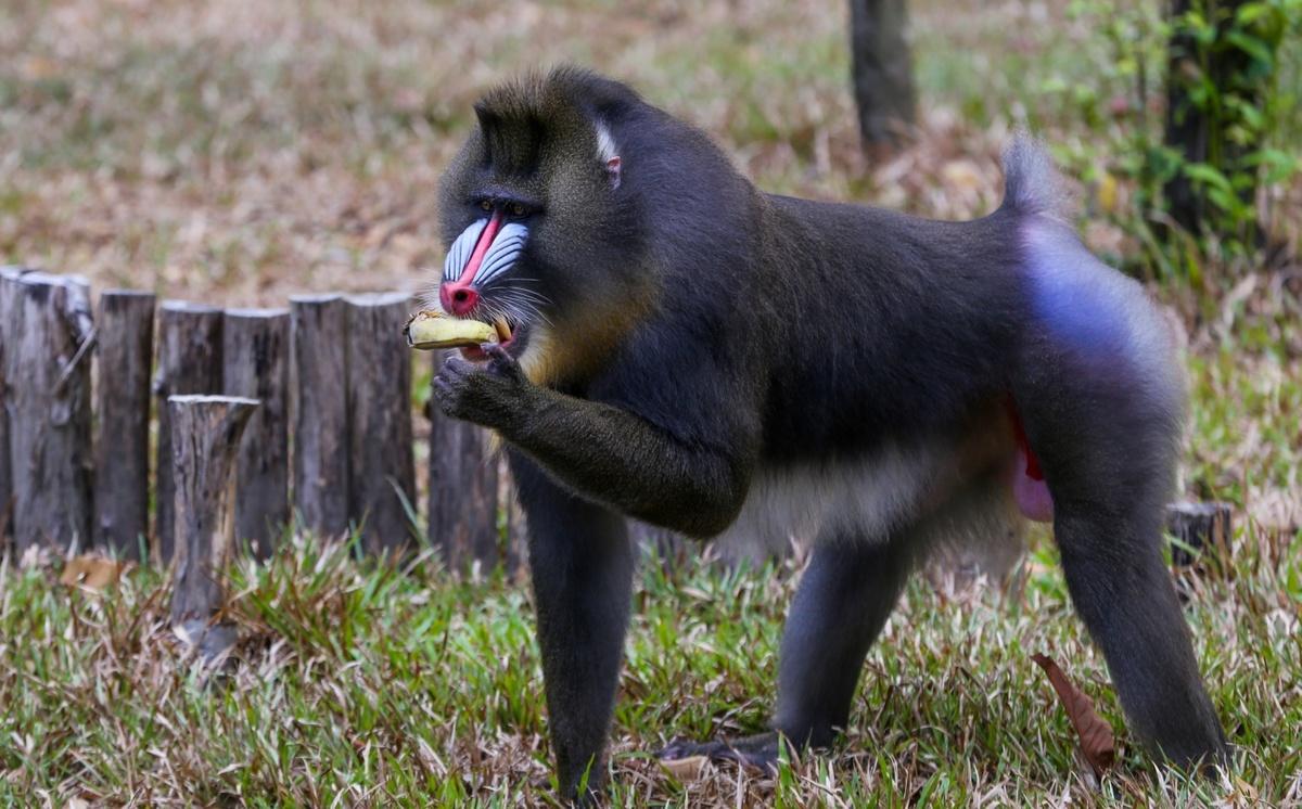 Khẩu phần ăn của động vật bán hoang dã ở Phú Quốc - Du Lịch