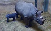 Tê giác đen quý hiếm chào đời trong vườn thú Mỹ