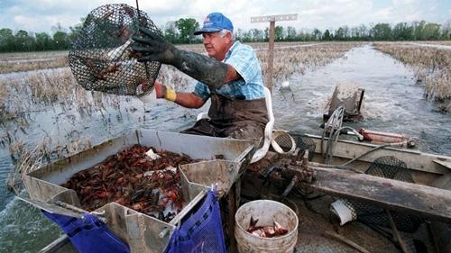 Ngành công nghiệp tôm hùm đất tỷ đô ở Mỹ và Trung Quốc - ảnh 4