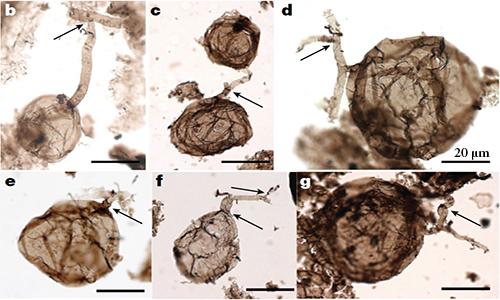 Hóa thạch nấm một tỷ năm tuổi nhìn dưới kính hiển vi. Ảnh: Discover Magazine.