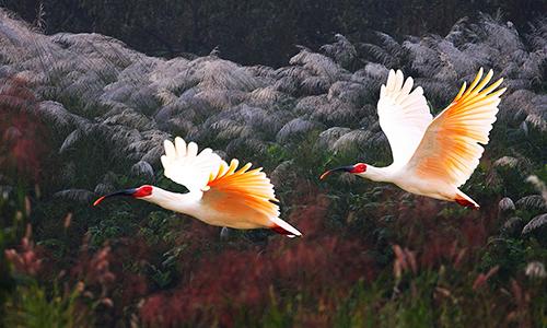 Cò quăm mào hoang dã khôngđược nhìn thấy ở Hàn Quốc từnăm 1979. Ảnh: Wenlc.cn