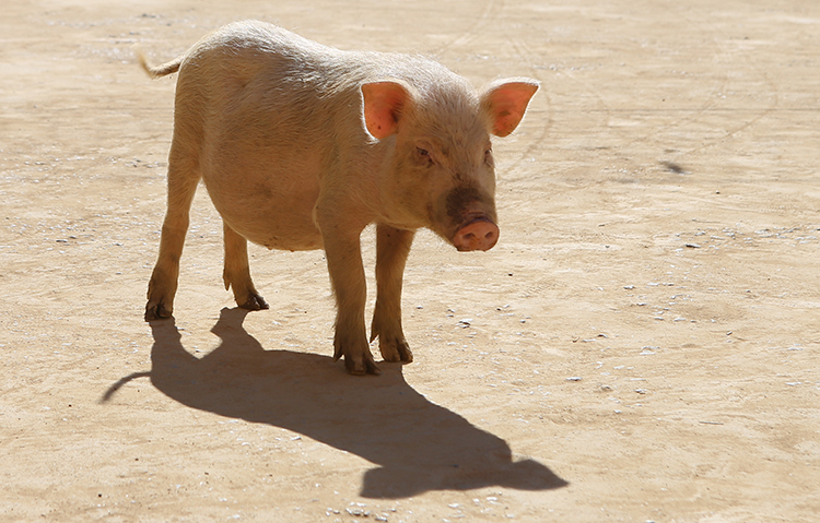 Lợn thả rông tại sân nhà văn hóa bản ở huyện Kỳ Sơn. Ảnh: Nguyễn Hải.