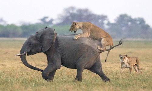 Đôi sư tử cái phục kích voi con. Ảnh: James Gifford.