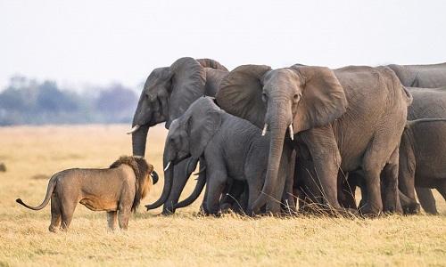 Đàn voi tạo thành bức tường chắn bảo vệ voi con trước những con sư tử đói mồi. Ảnh: James Gifford.