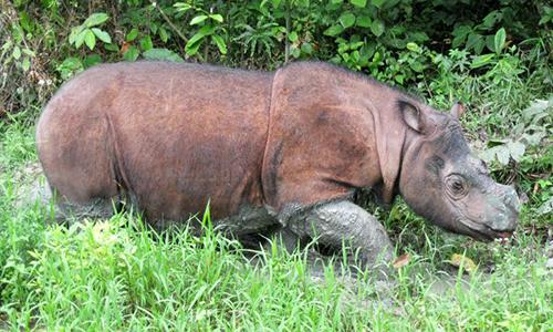 Tê giác Sumatra hiện là loài động vật có nguy cơ tuyệt chủng trên toàn thế giới. Ảnh: Malay Mail.
