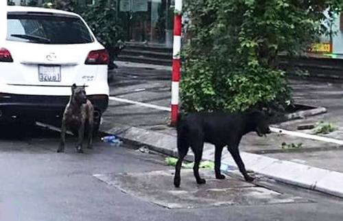 Hai con chó không rọ mõm được bắt giữ trên phố Hoàng Ngân. Ảnh: Xuân Hoa.