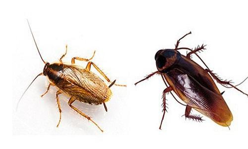 Gián Đức (trái) có kích thước nhỏ hơn nhiều so với gián thường. Ảnh: Wikipedia.