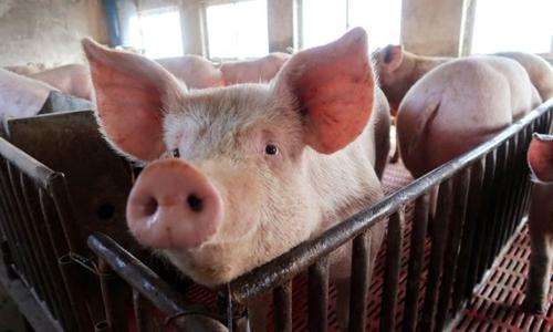 Dịch tả lợn châu Phi đã lây lan trên 48 tỉnh thành :(