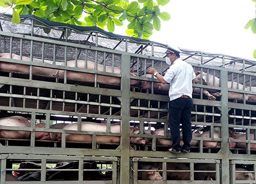 Nhân viên kiểm dịch động vật kiểm tra xe chở lợn đi qua Đà Nẵng. Ảnh: Ngọc Trường.