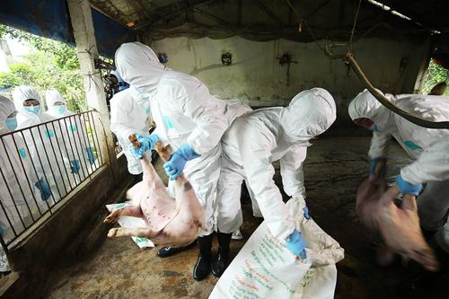 Diễn tập tiêu huỷ lợn mắc dịch tả châu Phi ở Hà Nội. Ảnh: Ngọc Thành.