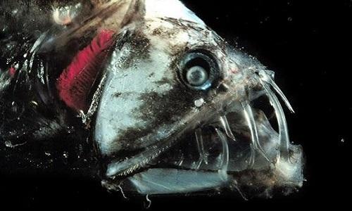 Quái ngư biển sâu đoạt mạng con mồi bằng hàm răng vô hình