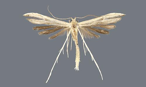 ]Hellinsia lucayana, một trong bốn loài bướm đêm lông vũ mới được phát hiện. Ảnh: Phys.
