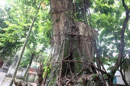Cây sưa trong khuôn viên chùa Phụ Chính trước khi chặt hạ. Ảnh: Gia Chính