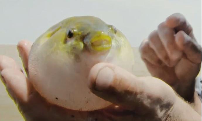 Cá nóc nước ngọt - kẻ giết người mang vẻ ngoài 'dễ thương'