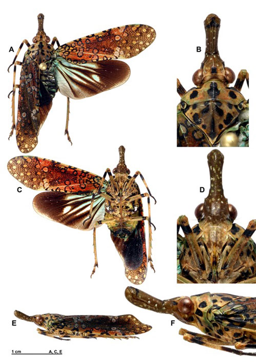 Loài Neoalcathous annamica; A, nhìn từ mặt lưng. B, đầu, pronotum và mesonotum nhìn từ mặt lưng. C, nhìn từ mặt bụng. D, trán nhìn từ mặt bụng. E, nhìn từ mặt bên. F, đầu và ngực nhìn từ mặt bên. Ảnh: VAST.