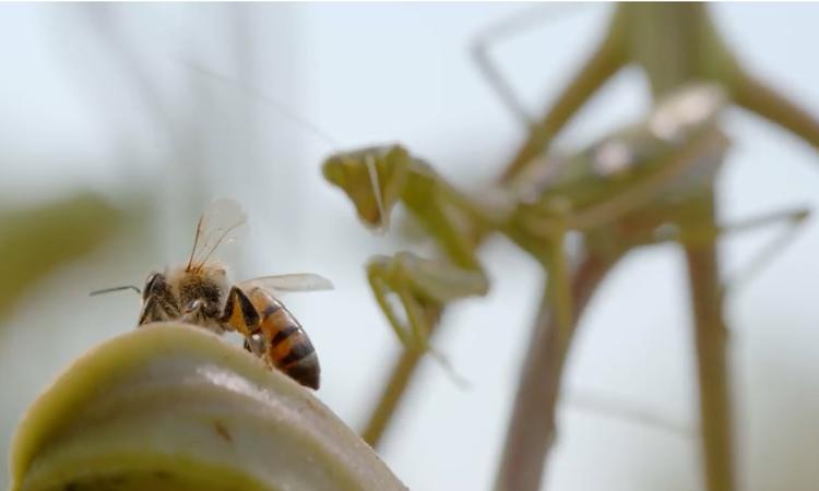 Bọ ngựa phục kích ăn sống ong thợ