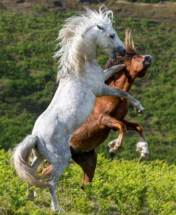 Ngựa trắng dùng chân trước đá vào đầu ngựa nâu. Ảnh: John Hayward.