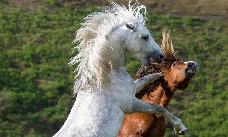 Ngựa hoang đứng thẳng đá trúng đầu đối thủ