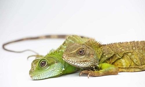 Rồng đất 'trinh nữ' sinh hai con ở vườn thú Mỹ
