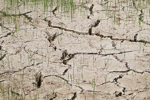 Nhiều hécta ruộng ở Hương Khê nứt nẻ, thiếu nước tưới. Ảnh: Đức Hùng