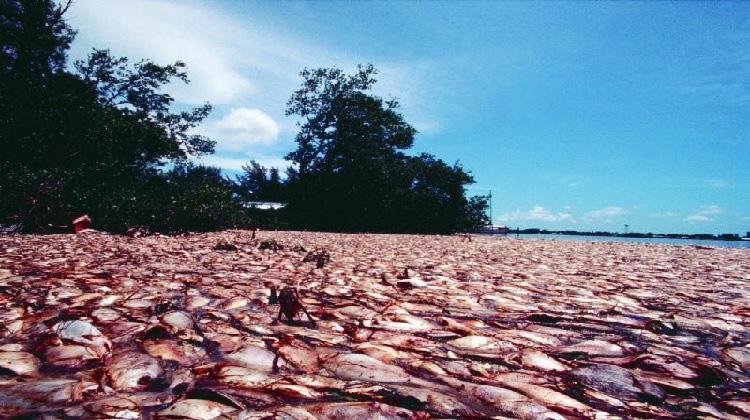 Hiện tượng thủy triều đỏ gây hại các sinh vật khác. Ảnh: Sưu tầm.