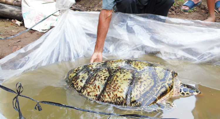 Rùa biển 34 kg mắc lưới ngư dân trên sông miền Tây -