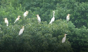 Hàng nghìn chim diệc bạch bay tới miền đông Trung Quốc