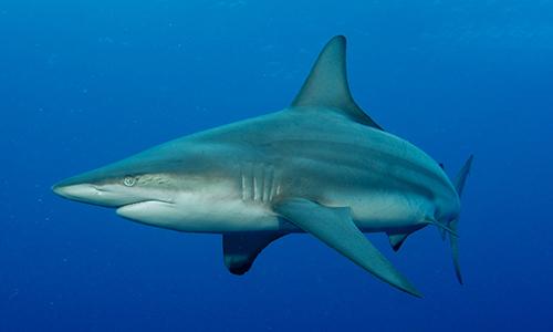 Cá mập mắt trắng Carcharhinus limbatus. Ảnh: Earth.