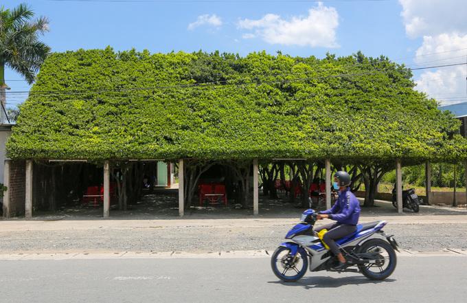 Quán cà phê được tạo từ 30 cây si ở Long An