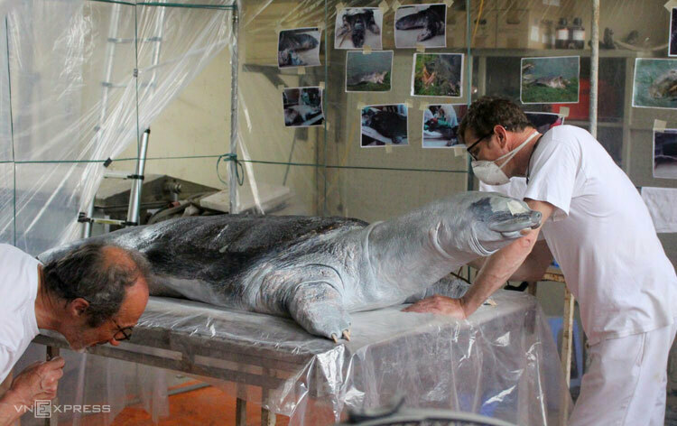 Hai chuyên gia người Đức Macro Fischer (Bảo tàng Erfurt) và Jurgen Fiebig (Bảo tàng Berlin) chế tác mẫu vật rùa Hồ Gươm. Ảnh: VAST.
