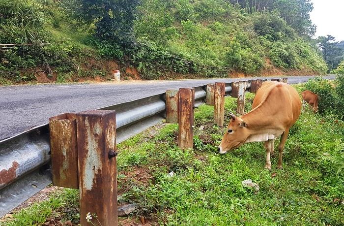 Bò của người dân có nguy cơ ăn trúng cỏ bị phun thuốc. Ảnh: Trần Hóa.